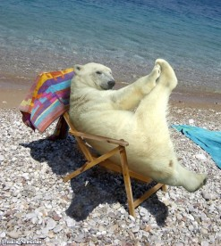 Polar-Bear-Sunbathing--26541
